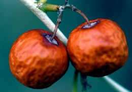 النبق ثمار السدرة أزارن